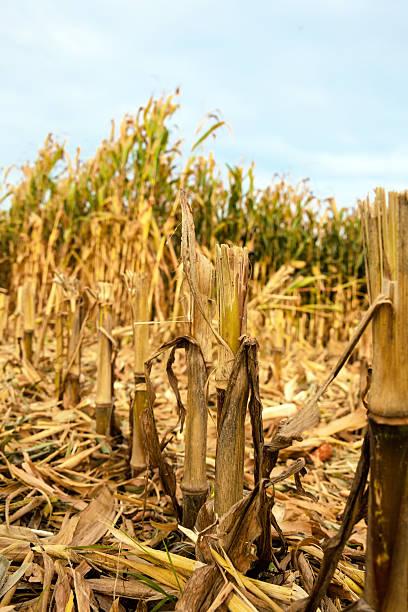 Ein Maisfeld Im Herbst Vor Der Ernte Pictures Getty Images