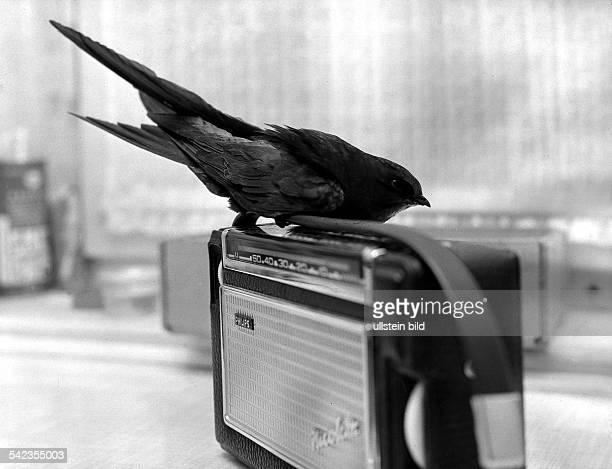 Ein Mauersegler auf einem KofferRadio 1966