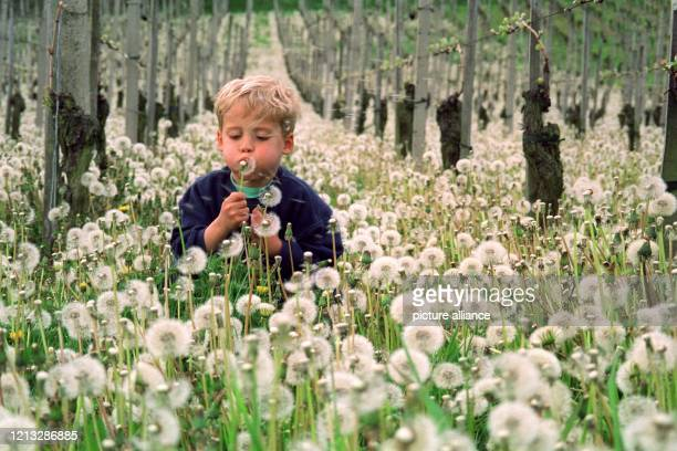Ein Meer von Pusteblumen reizt den kleinen Matthias am 28.4.1997 zum Spiel in einem Weinberg bei Bahlingen im südbadischen Kaiserstuhl. Noch vor...