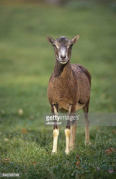 Ein Mufflon im Außengehege des Wildparks Lauenbrück Es handelt sich um weibliches Tier das im Gegensatz zum Bock kein Gehörn trägt Undatiertes Foto
