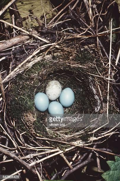 Ein Nest mit drei Heckenbraunelleneiern ein Kuckuck hat sein Ei in das fremde Nest gelegt Aufgenommen um 1996
