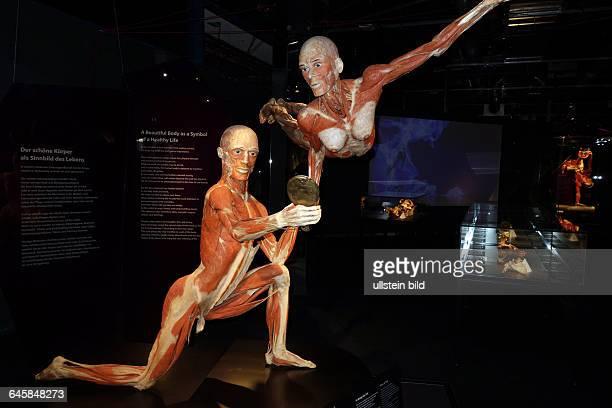 Ein Plastinat aufgenommen im Menschen Museum memu Körperwelten von Plastinator Gunther von Hagens am Fernsehturm in Berlin Mitte