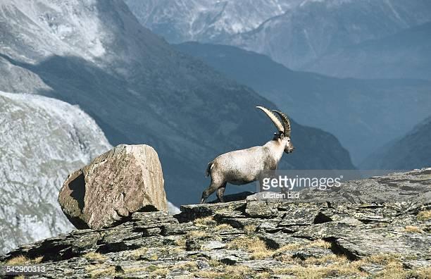 Ein Steinbock mit mächtigen Hörnern am Hang über dem Walliser Saastal Undatiertes Foto
