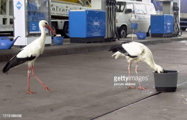 Ein Storchenpaar besucht am Morgen des 472000 eine Tankstelle am deutschschweizerischen Grenzübergang Weil am Rhein um aus einem nahe der Zapfsäulen...