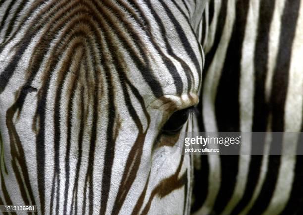 Ein verwirrendes Muster ergibt sich am 18.7.2000 bei der näheren Betrachtung eines Zebras im Münchner Tierpark Hellabrunn. Die markante...
