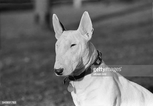 Ein weißer Bullterrier mit Hundehalsband an dem eine Steuermarke hängt Kampfhund