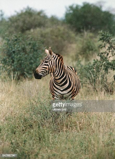 Ein Zebra steht im hohen Gras des Naturreservates Tsavo-Ost in Kenia. Zebra und Bäume sind rot überhaucht vom Staub des dunkelroten Gesteins Laterit....