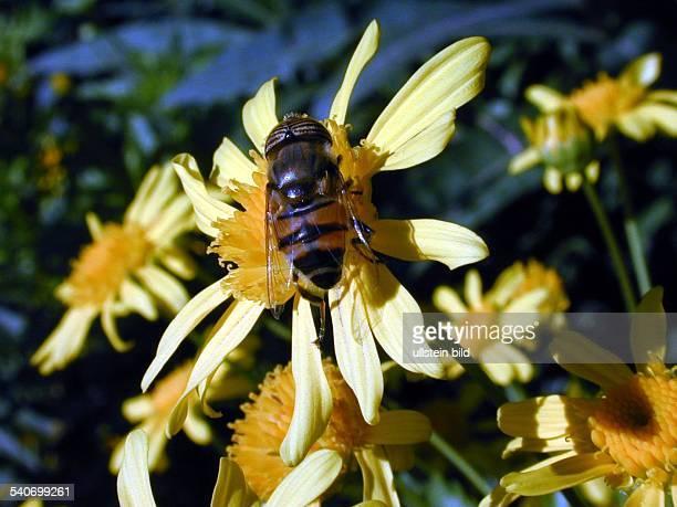 Eine Biene sitzt auf einer Blüte um den Nektar der Pflanze aufzunehmen