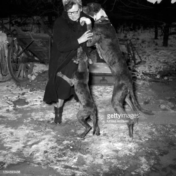 Eine Frau wird von zwei Hofhunden um Futter angebettelt, Norddeutschland 1954.