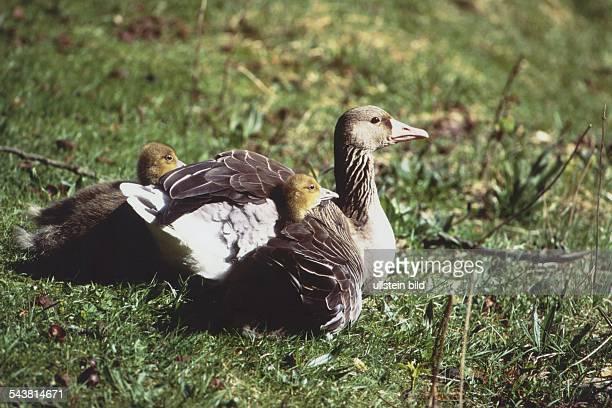 Eine Graugans sitzt im Gras und läßt ihre Küken unter ihre Flügel schlüpfen, um sie zu wärmen. .