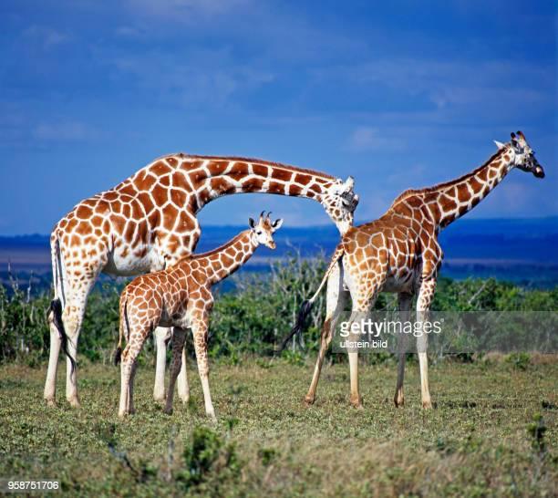Eine Gruppe seltener Netzgiraffen mit markantem Fellmuster Giraffa camelopardalis reticulata Bulle Kuh und Jungtier in der Savanne des Aberdare...