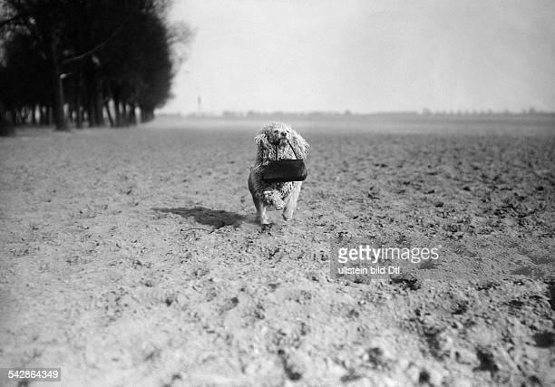 Eine Hundehalterin trainiert mit ihrem Pudel auf dem Feld, der Hund trägt die Handtasche der Frau.- undatiert, vermutlich 1911veröffentlicht:...