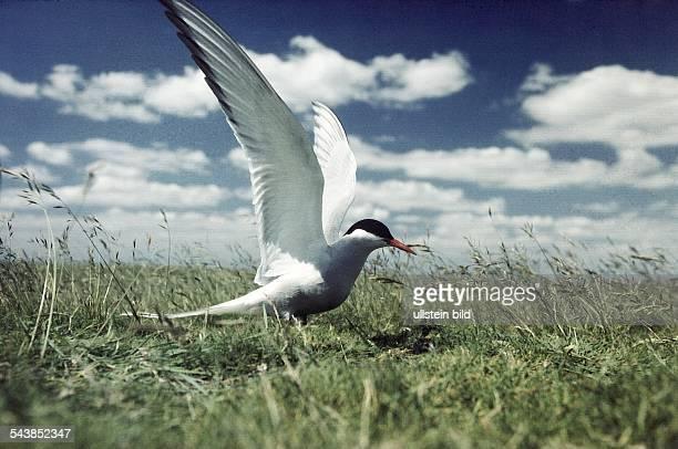 Eine Küstenseeschwalbe im Gras mit ausgebreiteten Flügeln Vor ihr liegt ein Vogelei Aufgenommen um 1996