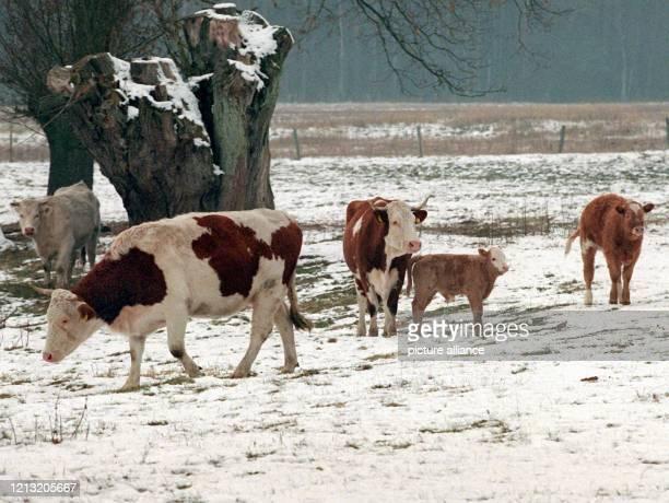 Eine Kuhherde läuft am in der Nähe des brandenburgischen Fürstenberg auf gefrorenen und schneebedeckten Boden und bei Temperaturen um Minus 10 Grad...