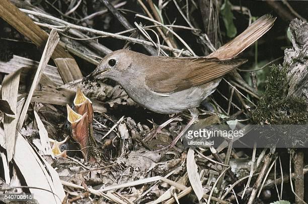 Eine Nachtigall füttert ihre Jungen die im Nest sitzen und ihre Schnäbel weit aufsperren Undatiertes Foto