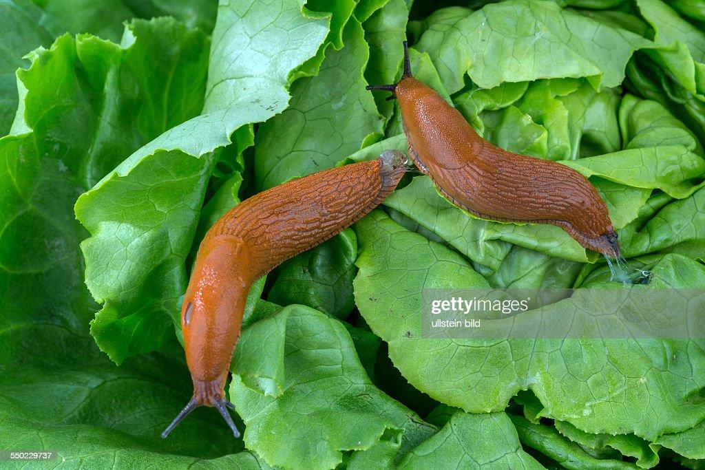 Eine Nacktschnecke Im Garten Frißt Ein Salatblatt Schneckenplage Im