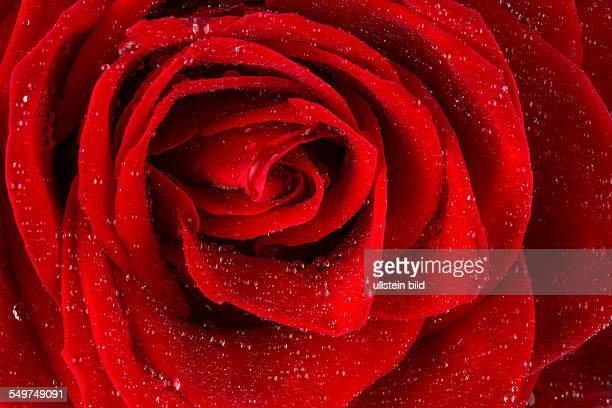 Eine rote Rose mit Tropfen aus Wasser auf der Blüte