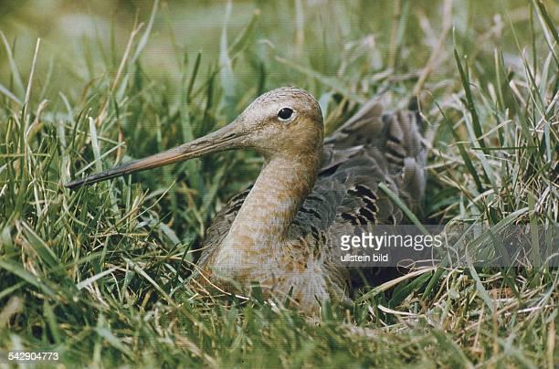 Eine Uferschnepfe im Gras auf ihrem Gelege. Aufgenommen um 1992.