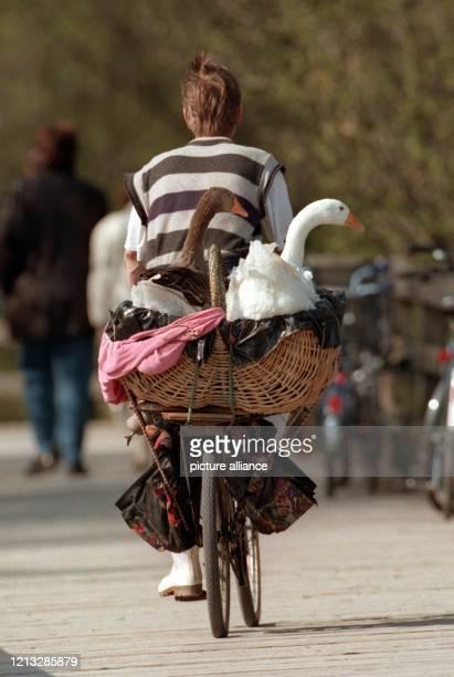 Einen sonnigen Abschnitt bei sonst eher kühlem Mai-Wetter nutzt am 7.5.1997 in München dieser Fahrradfahrer, um mit seinen beiden Gänsen auf dem...