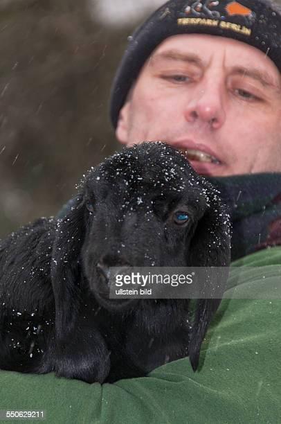 Eines der drei Anfang Januar 2014 im Tierpark Berlin-Friedrichsfelde geborenen Fettsteiß-Schafen, auch Hissar-Schaf genannt, mit Tierpfleger René...