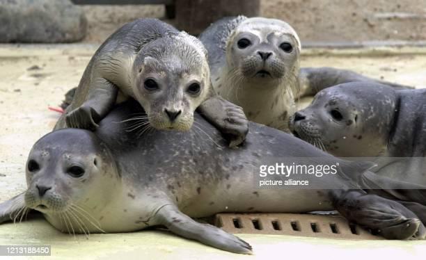 Einige rund vier Wochen alte so genannte Heuler drängen sich am 472000 in der Seehundstation in Friedrichskoog an der schleswigholsteinischen...