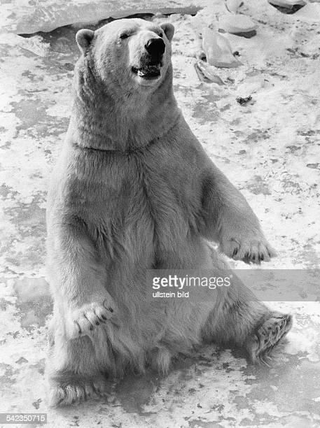 Eisbär 'Willi' im Berliner Zoo- Januar 1985