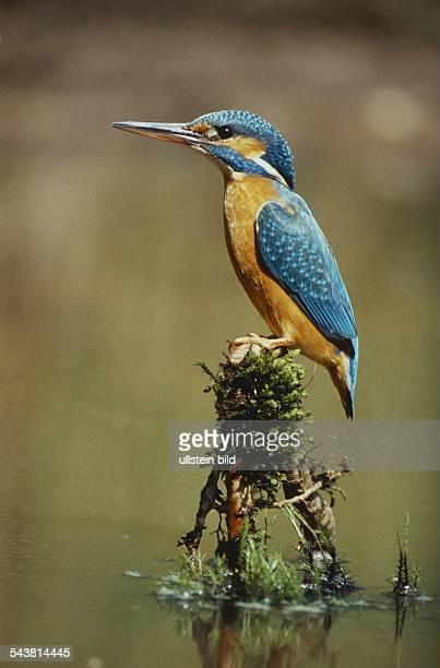 Eisvogel , Länge ca. 17 cm. Aufgenommen um 1996.