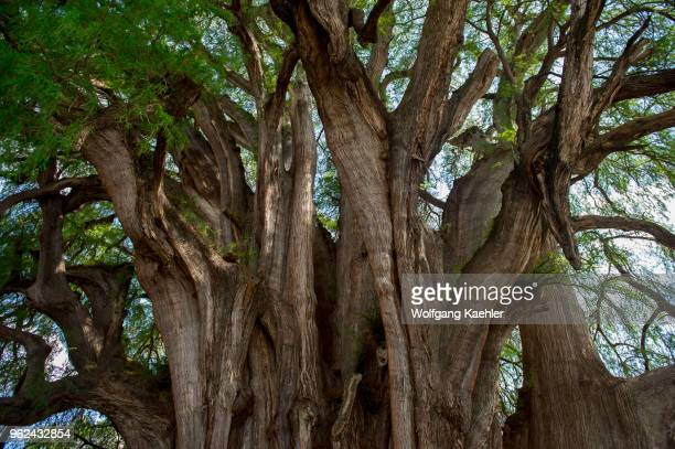 El Arbol del Tule is a tree located in the church grounds in the town center of Santa Maria del Tule in the Mexican state of Oaxaca approximately 9...