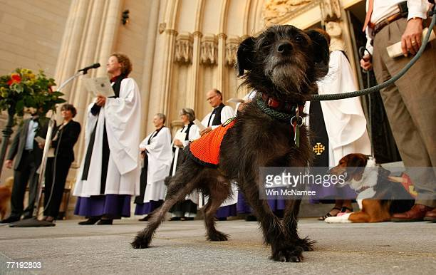 El Ray a dog available for adoption through the Washington Animal Rescue League takes part in the annual Blessing of the Animals event at the...