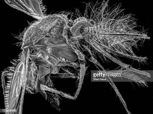 el segundo mosquito, sem - mosquito stock photos and pictures