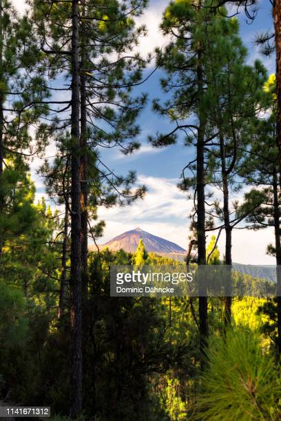 el teide peak with pine trees in foreground, in tenerife island (canary islands, spain) - el teide national park stock pictures, royalty-free photos & images