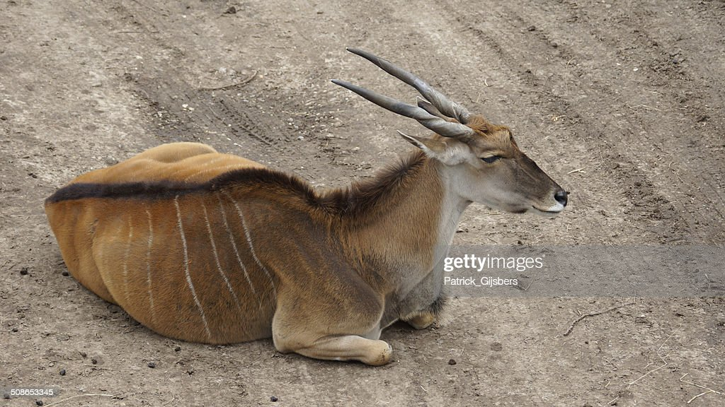 Eland antelope : Stock Photo