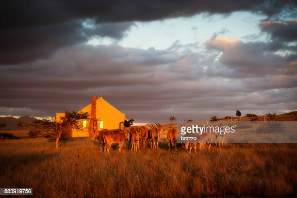 Eland buck graze grass outside a farm cottage at dusk