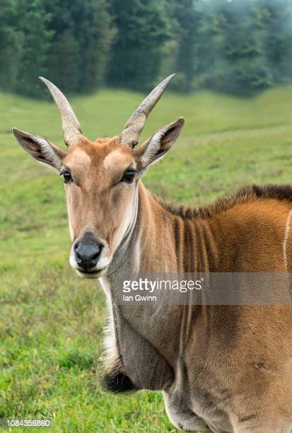 eland - ian gwinn stock photos and pictures