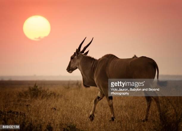 Eland Walking Toward Sunset at Masai Mara Reserve