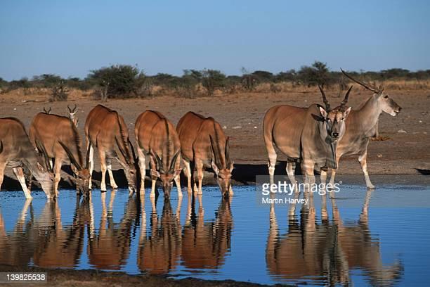 Elands, Taurotragus oryx, drinking at waterhole. Etosha National Park, Namibia. Southern & Eastern Africa.