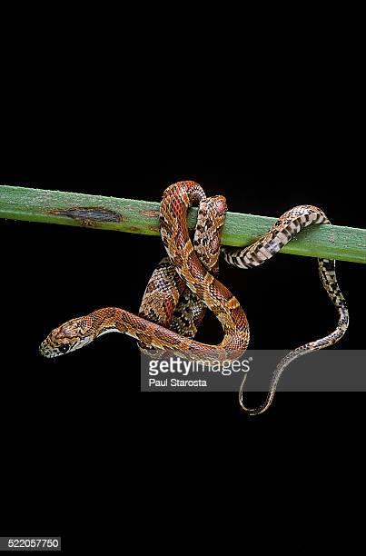 Elaphe guttata guttata (corn snake)