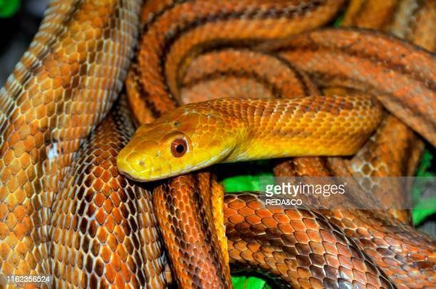 Elaphe obsoleta quadrivittata Yellow Rat Snake