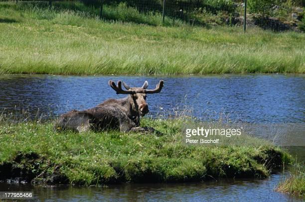 Elch auf Insel im See Elchpark 'Virum' bei Vimmerby Smaland Schweden Europa Elche Tier Tierpark Reise