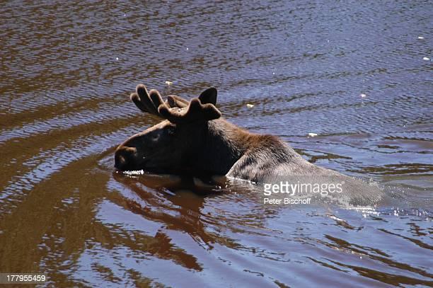 Elch im See Elchpark 'Virum' bei Vimmerby Smaland Schweden Europa Elche Tier Tierpark Reise