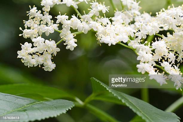 Ältere Blüten, Nahaufnahme.