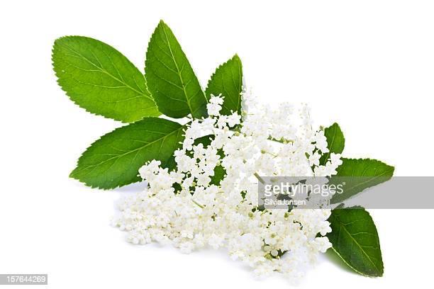 Holunderbeere blossom