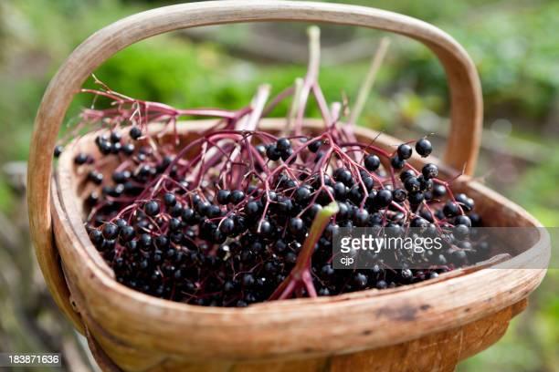 Holunderbeere Harvest