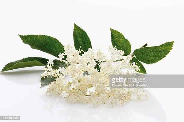 Elderberry (Sambucus)