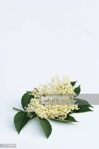 Holunderblüten-Blüte Blume der Hollunder