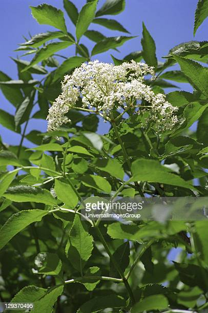 Elderflower Sambucus nigra View of flower and green leaves Flower used for flavouring drinks and food Strong scent and flavour Blooms in summer