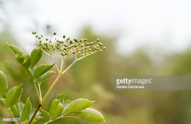Elderflower tree in bud