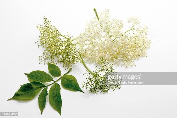 Elderflowers (Sambucus), close-up
