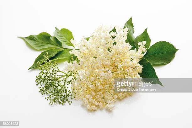 Elderflowers (Sambucus) on white background, close-up