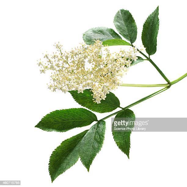 Elderflowers Sambucus nigra